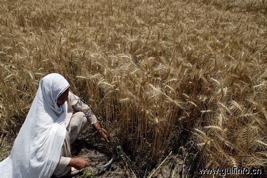 巴基斯坦拟放开小麦进口