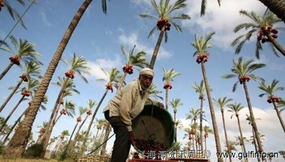 第8届阿联酋国际枣椰文化节:11月24-29日在阿联酋首都举行
