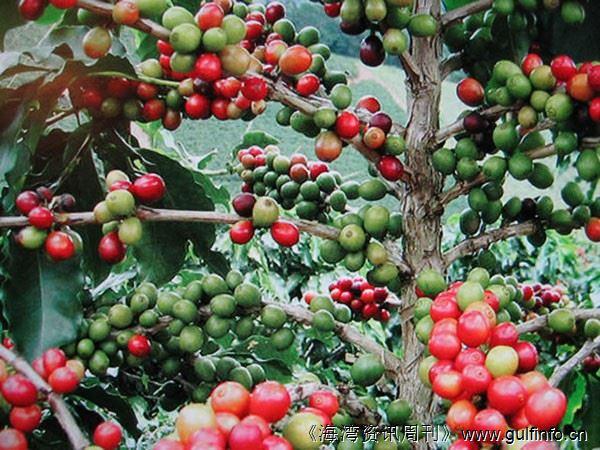安哥拉可能再次成为世界主要咖啡生产国