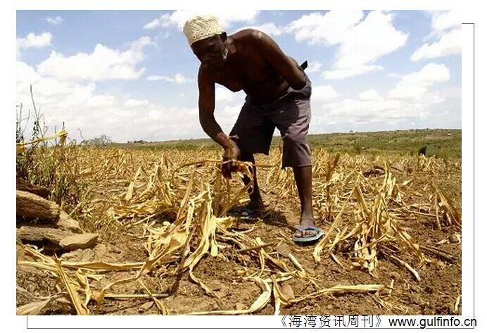 干旱带来巨大粮食压力 非洲转基因作物政策开始松动