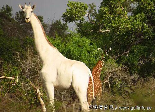 你一定没见过这么仙的长颈鹿 通体白色
