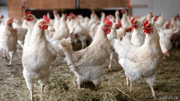 摩洛哥计划扩大家禽产业