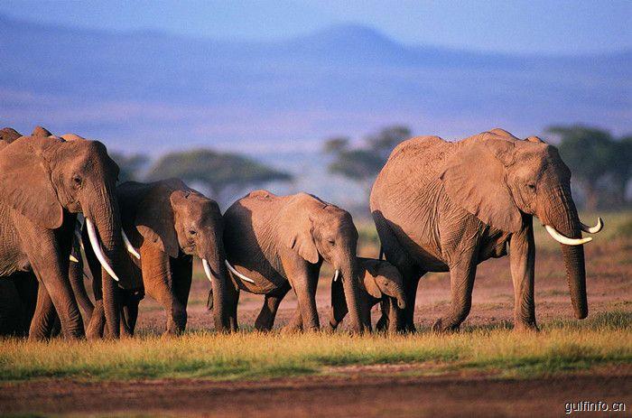 因吹斯汀:在非洲,种子搬运全靠非洲象?