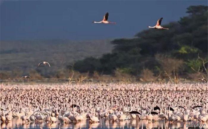美到震撼!百万只火烈鸟翩翩起舞,就在肯尼亚博戈里亚湖