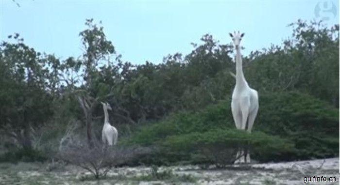 非洲肯尼亚发现罕见白色长颈鹿 目前全球网纹长颈鹿共有8500只