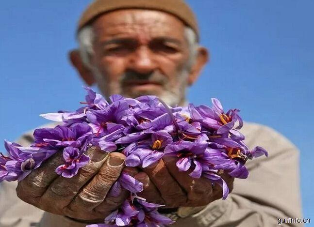 2017年,伊朗番红花采摘节