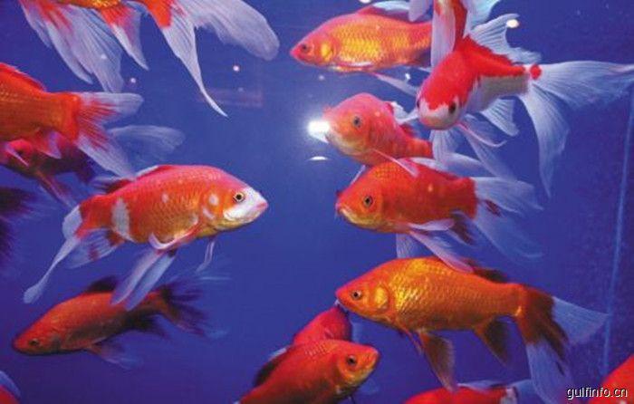 安徽观赏鱼首次出口非洲
