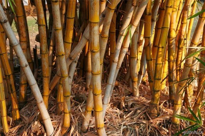 埃塞俄比亚致力于从竹产业中获得最大收益
