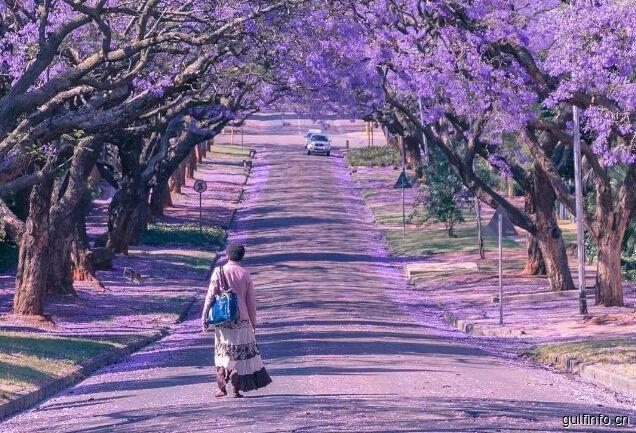 """10月南非:""""满城尽放蓝花楹"""""""