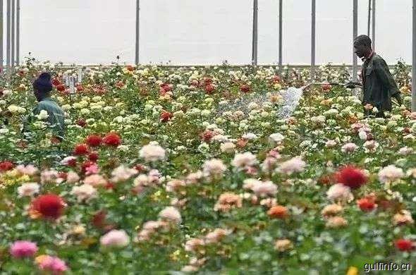 中国已成肯尼亚玫瑰增长最快的消费市场